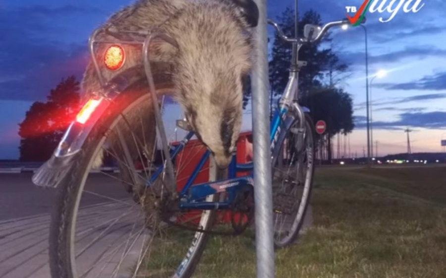 В Лиде велосипедисту, который привез на заправку мертвого барсука, грозит четыре года лишения свободы