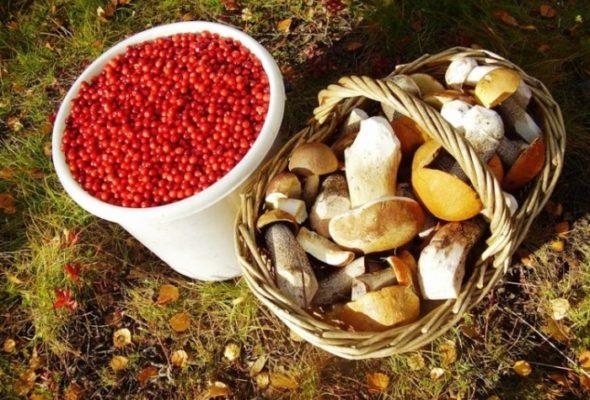 Почем в Барановичах принимают яблоки, чернику и грибы