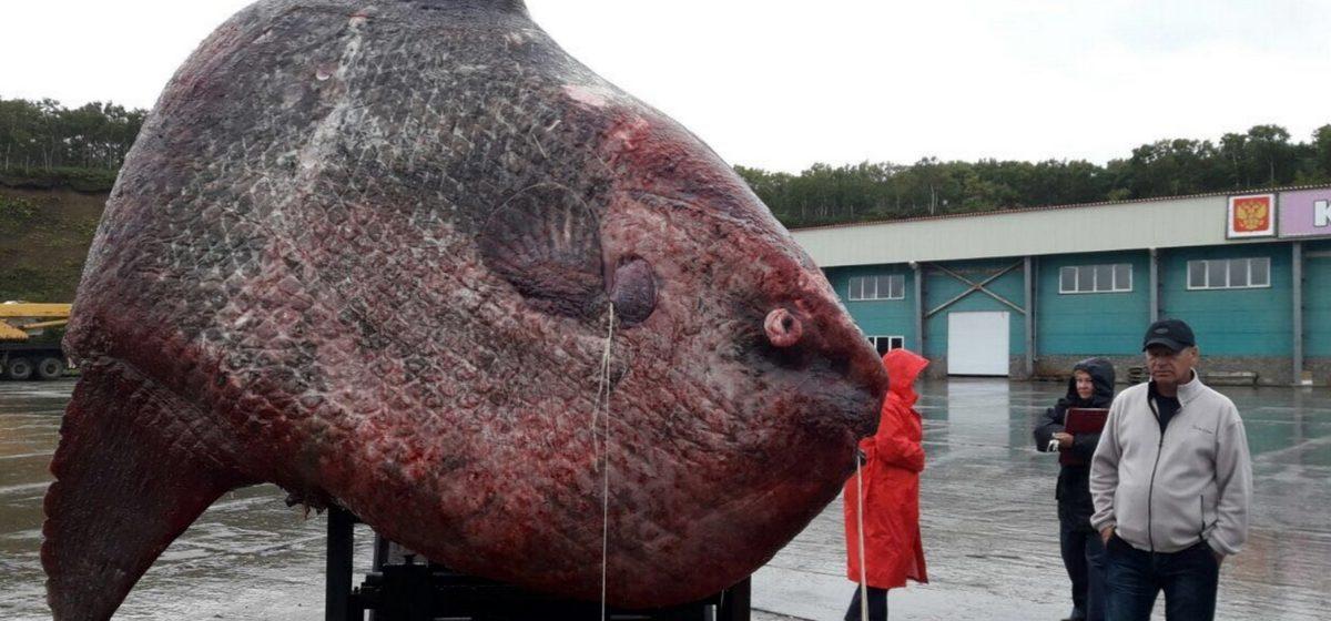 В России поймали рыбу-луну весом больше тонны и скормили ее медведям