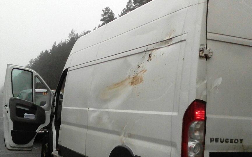 Под Барановичами Peugeot сбил лося, позже в его тушу въехала Toyota