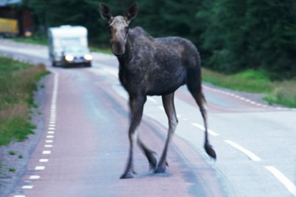 В Барановичском районе Volkswagen сбил лося