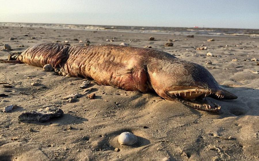 После урагана Харви на пляж Техаса выбросило таинственное безглазое и зубастое морское существо (фото)