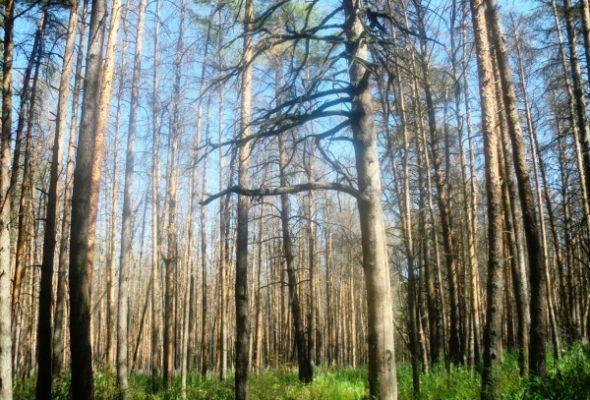 Более 700 рублей штрафа грозит жителю Барановичского района за вырубку сухостоя