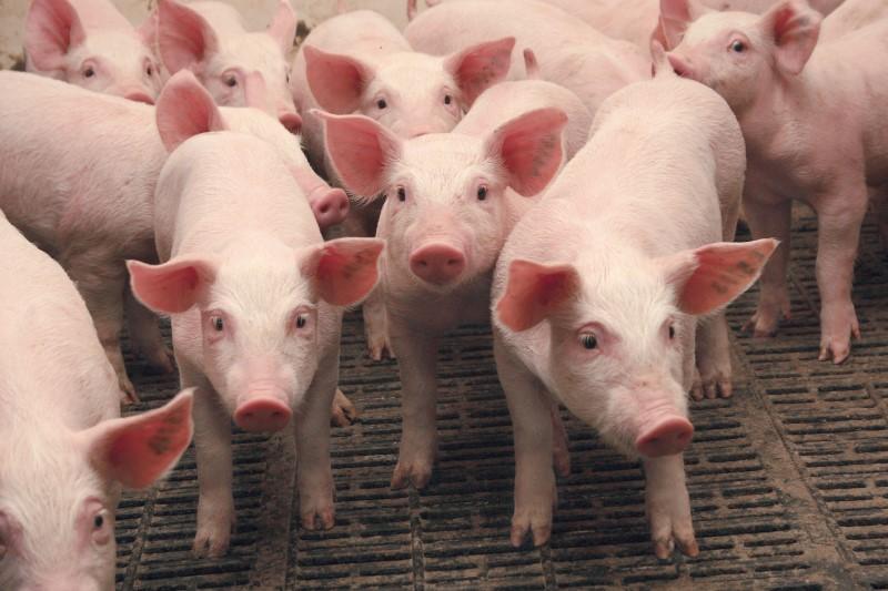 Почему в Брестской области снижается поголовье свиней