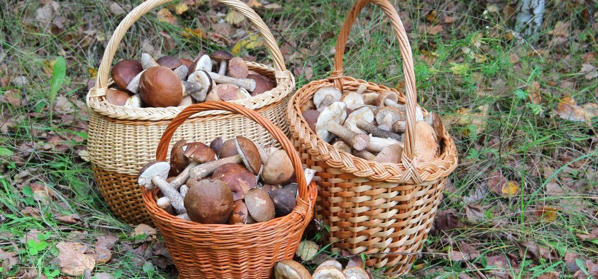С начала года в Беларуси отравились грибами 96 человек, есть погибший