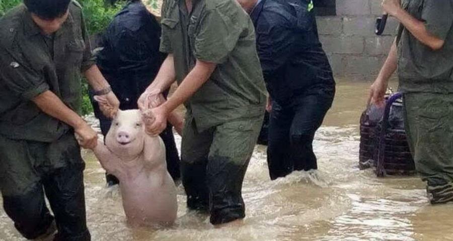 Фотофакт. Довольную свинью китайские военные выводят из зоны затопления, поддерживая за передние ноги