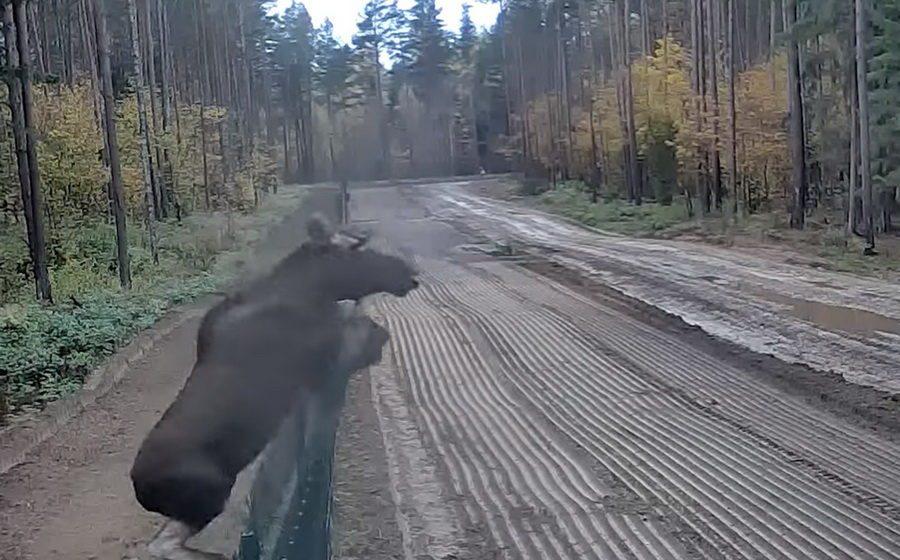 Лось «сбежал» из Беларуси в Литву, перепрыгнув забор на границе (видео)