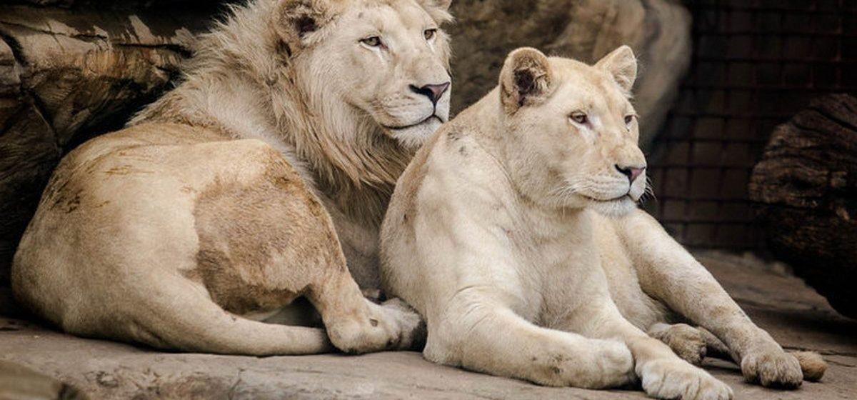 Как живут львы, подаренные Николаю Лукашенко