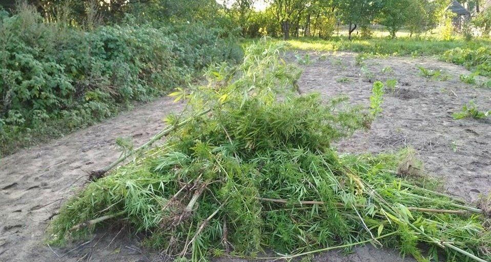 На Вилейщине пенсионеры вырастили коноплю в 3,5 метра и кормили ею кур