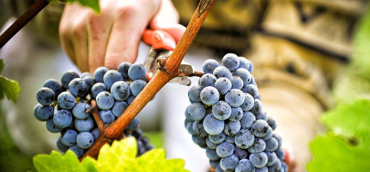 Как правильно отправить виноград на зимовку