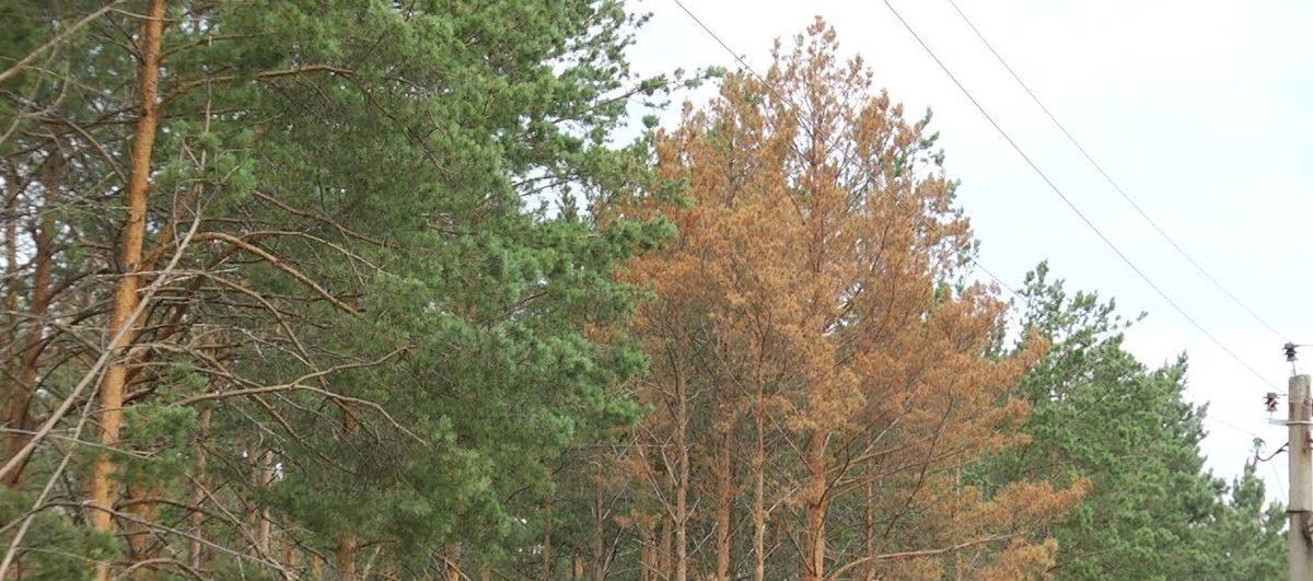 Из-за жука-короеда в Барановичском регионе вырублено 219 гектаров леса