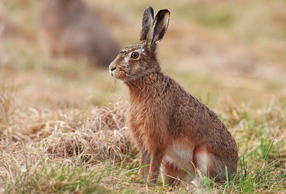 Открыта охота на зайца-русака и зайца-беляка