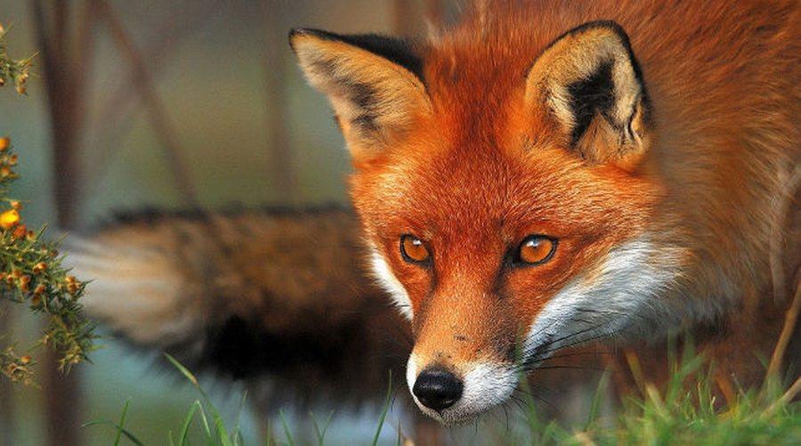 В Мозыре лиса нападала на прохожих, пострадали девять человек