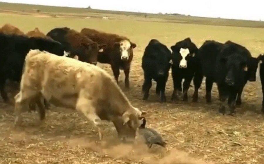В сети набирает популярность видео, как стадо коров безуспешно пытается атаковать наглую птицу