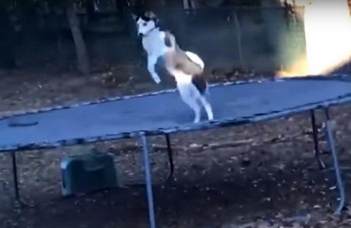 Мужчина снял на камеру, чем занимается собака хаски, пока ее никто не видит