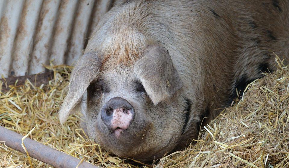 В Брестской области в 2017 году закрыто три неэффективных свинокомплекса