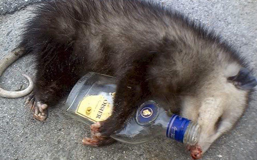 Во Флориде опоссум проник в ликеро-водочный магазин и напился