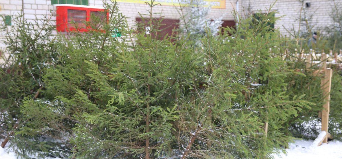 Популярность новогодних живых елок у жителей Барановичей не падает