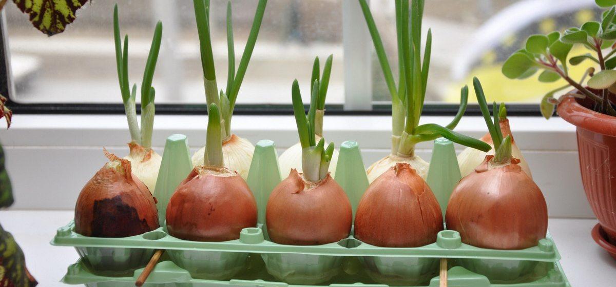 Какую свежую зелень можно вырастить самому на подоконнике к зимнему столу
