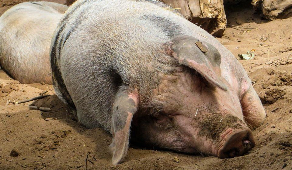 В 2018 году на 80% сократились поставки белорусской свинины в Россию