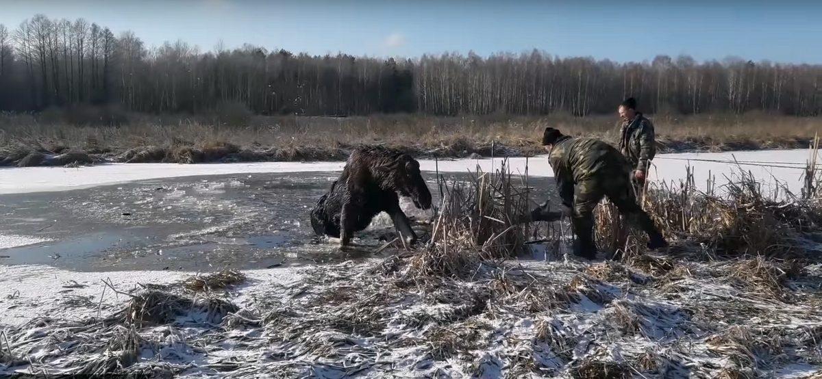 Милиционеры из Брагина спасли провалившегося под лед лося (видео)