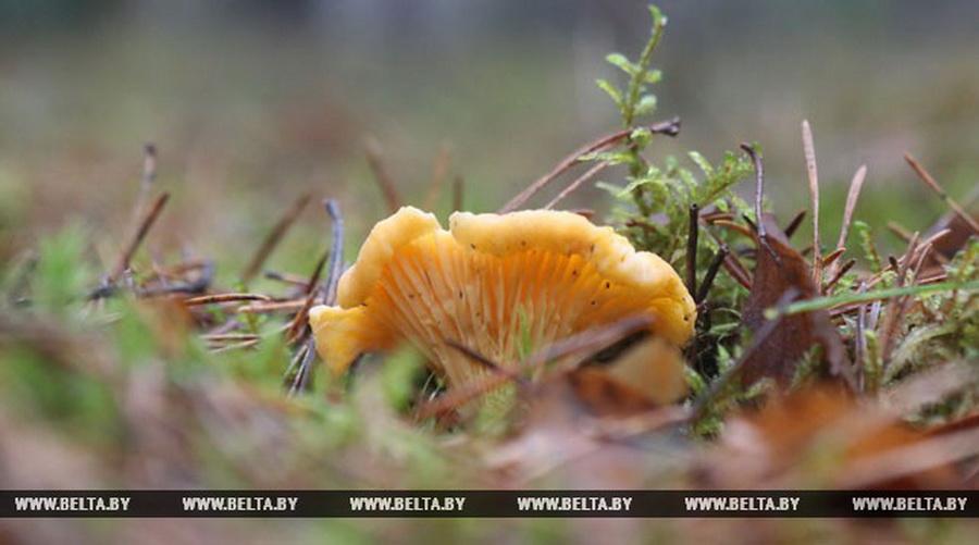 Фотофакт. В лесах под Гродно появились первые лисички 2018 года
