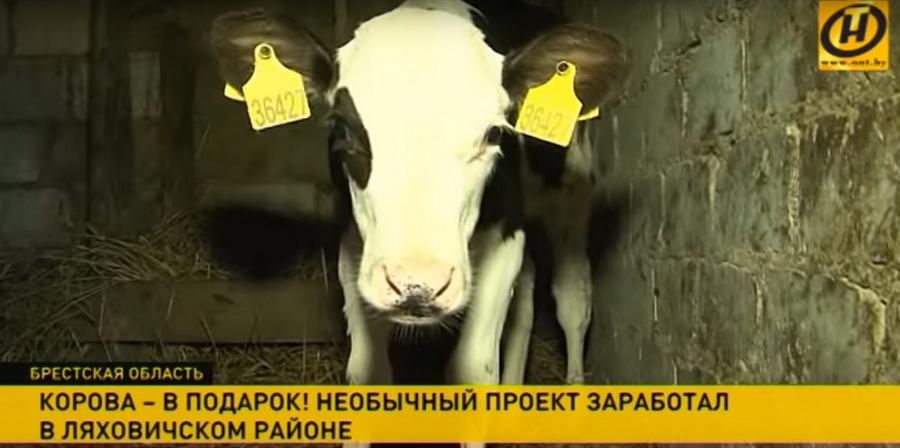 В Ляховичском районе реализовали европейский проект «Длинная корова» — животных будут раздавать сельчанам бесплатно