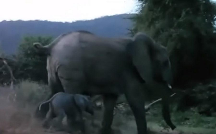 В Кении сняли на видео, как слониха спасла от нападения льва беззащитного детеныша