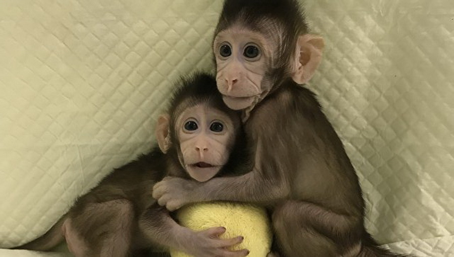 Китайские ученые впервые клонировали обезьян по методике, аналогичной эксперименту с овечкой Долли