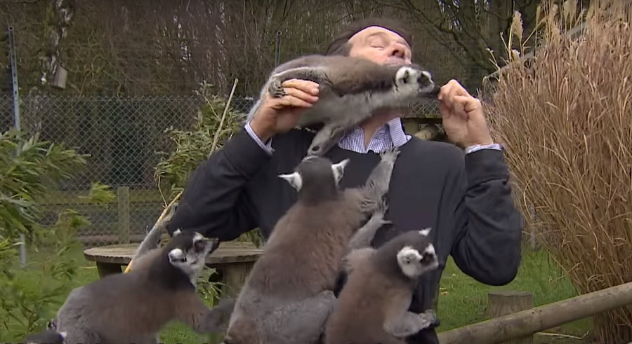 Видеофакт. В Англии во время съемки сюжета в зоопарке репортера «атаковали» лемуры