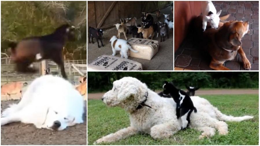 В сети набирает популярность видео, как козлята играют с собаками