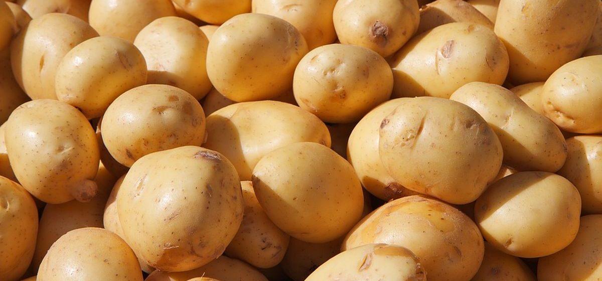 Где в Беларуси лучше всего уродила картошка