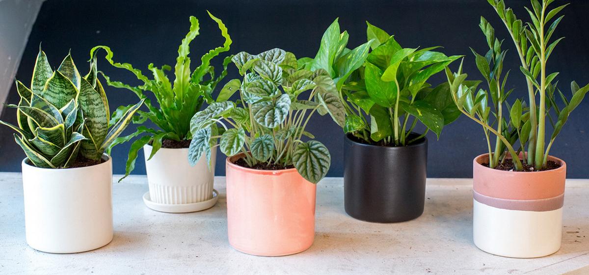Пять комнатных растений, которые защищают от вирусов