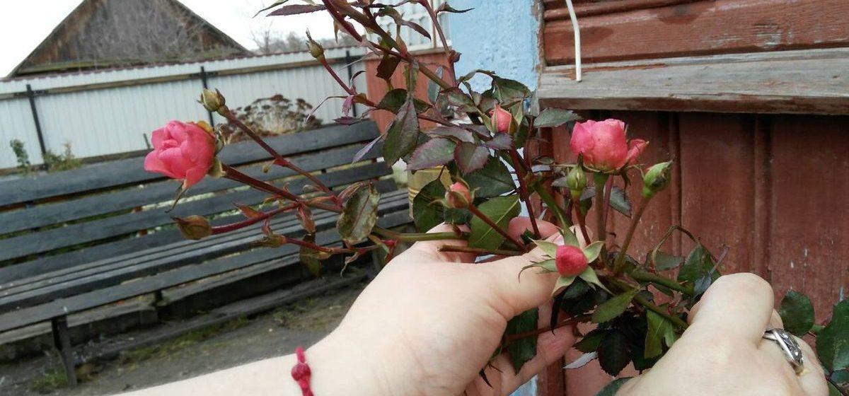 Фотофакт. На даче у жительницы Барановичей в начале января зацвел куст роз