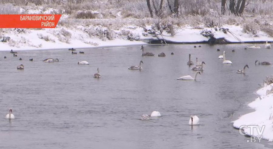 На реке под Барановичами остались зимовать 50 лебедей (видео)