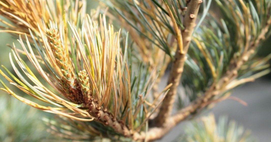 С начала года в Барановичском регионе из-за жука-короеда вырубили 40 гектаров леса
