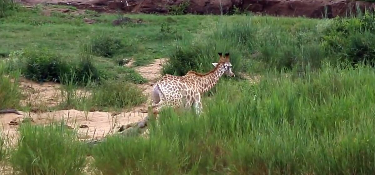 Видеофакт. Жираф спасся от крокодила, но попал ко львам
