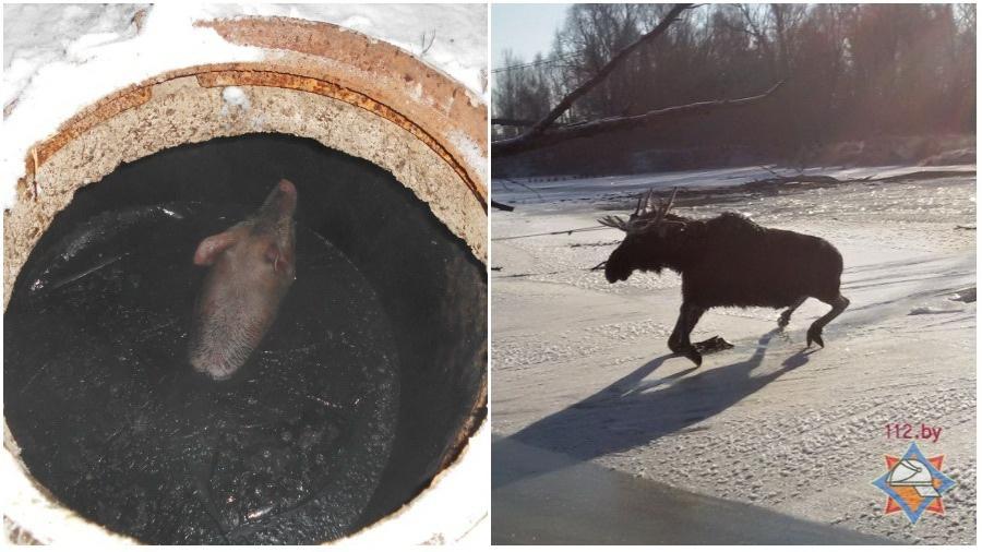 В Лельчицах сотрудники МЧС спасали из канализации поросенка, а в Верхнедвинске — лося из реки
