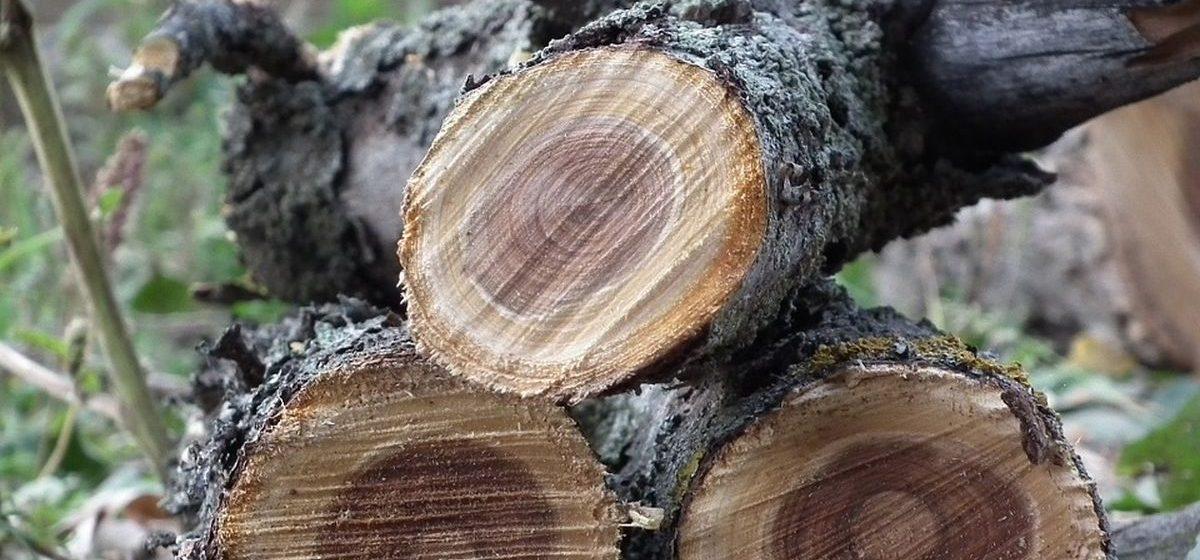 В Барановичах оштрафовали мужчину, спилившего деревья возле собственного подъезда