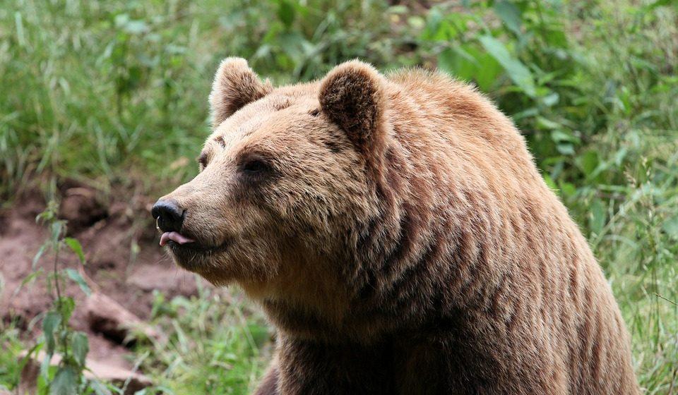 Голодный медведь в России вышел на запах шашлыков. Пока туристы прятались, он съел все мясо. Видеофакт