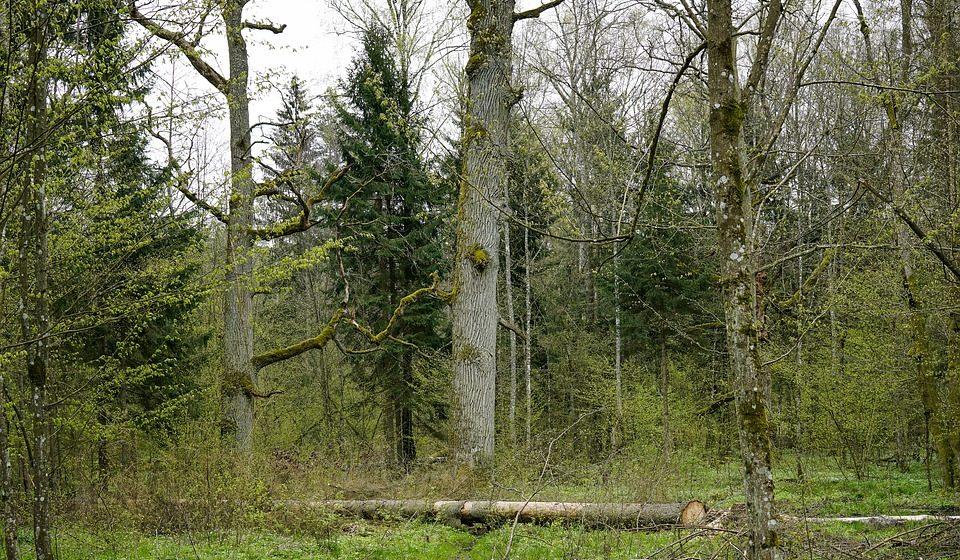 Суд ЕС признал незаконной вырубку леса в Беловежской пуще