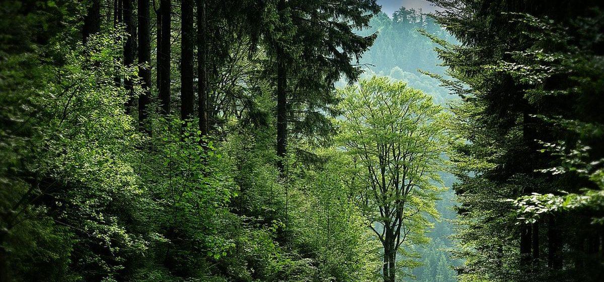 В Барановичском регионе за неделю высадили 42 гектара леса