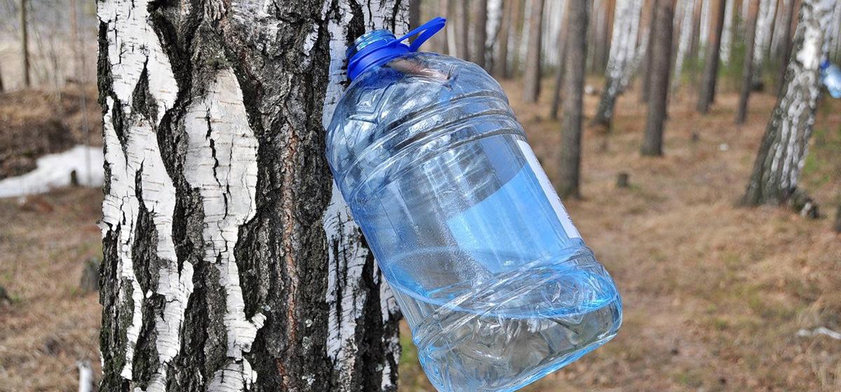 Заготовка березового сока в Барановичском районе начнется позже обычного