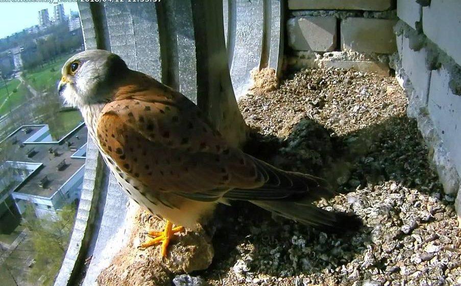 В Бресте в гнезде сокола-пустельги установили онлайн-камеру