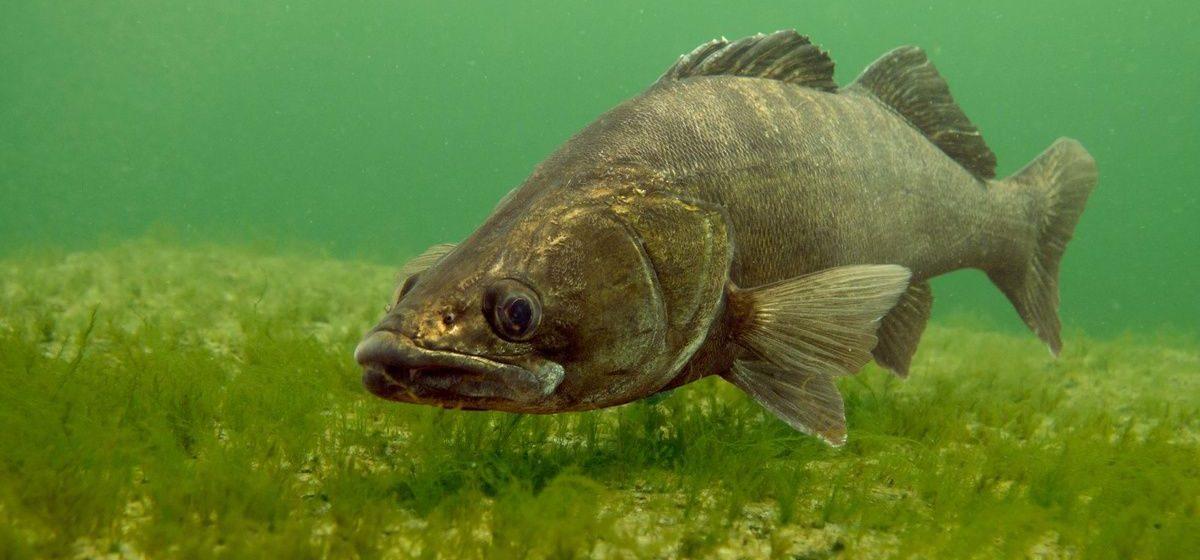 В Беларуси введен запрет на лов судака