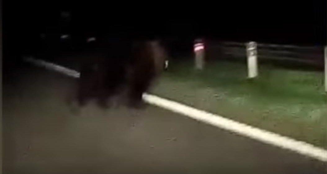 Еще один медведь вышел на дорогу. Под Минском милиция заставила животное вернуться в лес (видео)