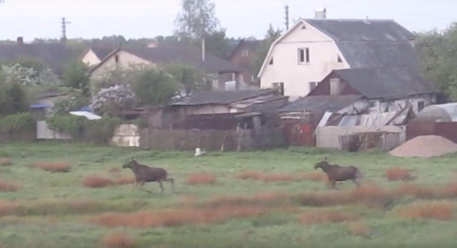 Видеофакт. Под Барановичами два лося пришли в поселок