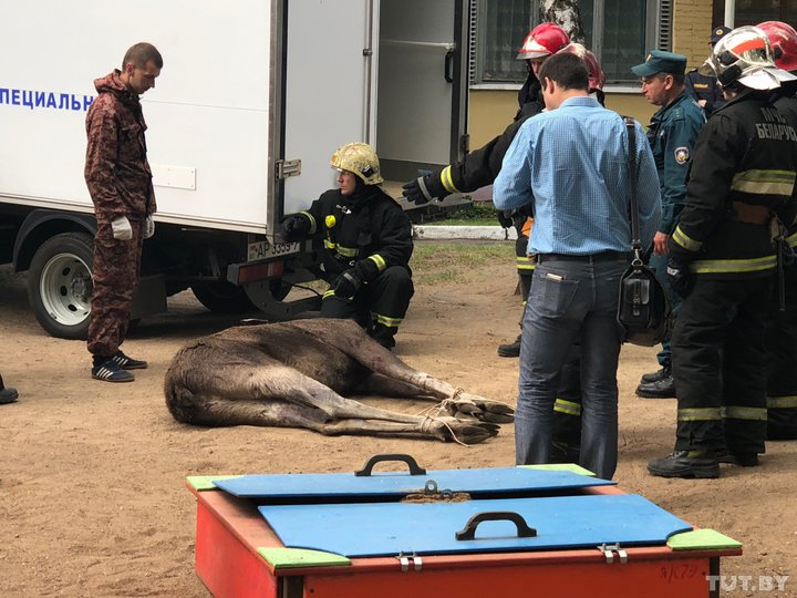 Видеофакт. В Минске лось забрел в детский сад