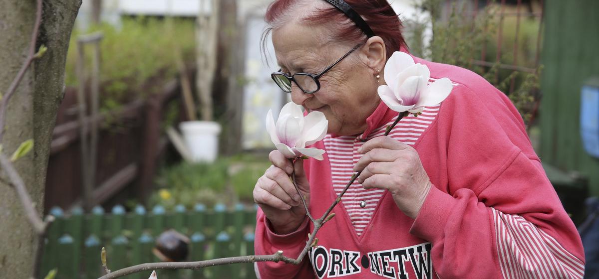 Барановичские пенсионеры ищут желающих забрать  экзотическое дерево: магнолия обречена на гибель после сноса их старого дома