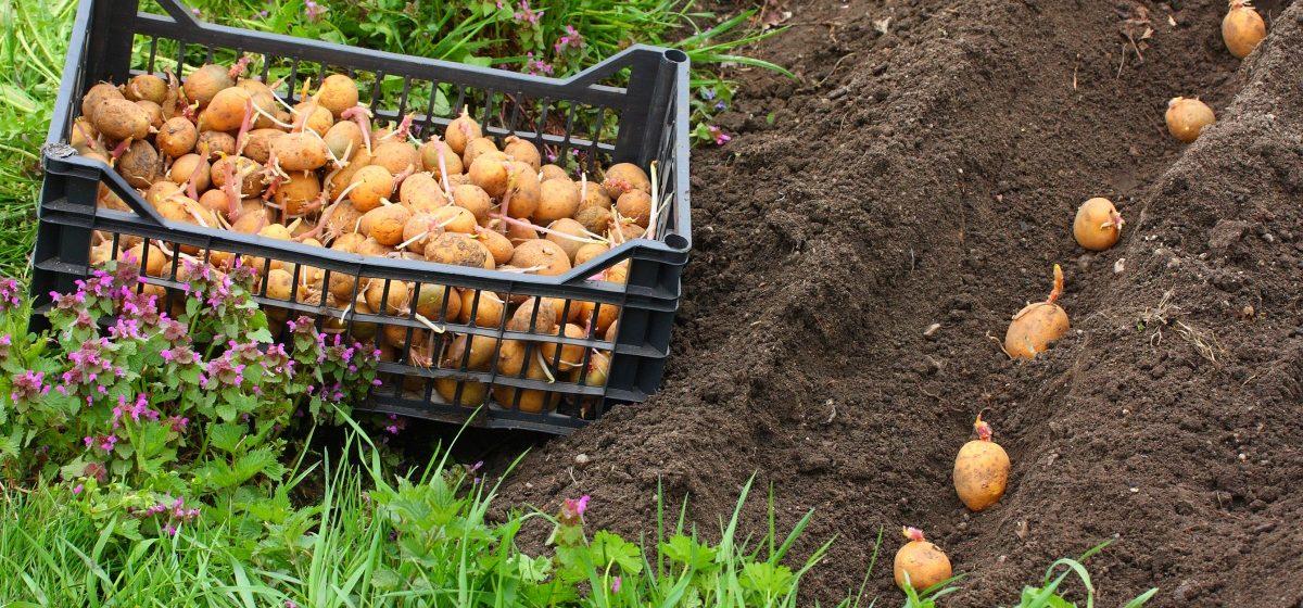 Метеорологи рассказали, как лучше одеваться на посадку картошки в ближайшие выходные